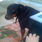 Our Dobermann cross, taken in 2011