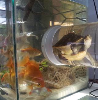 A tortoise crosses between two tanks.
